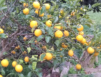 lemons-81
